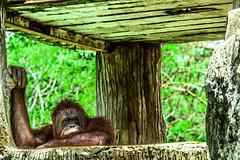 Simpanse (stefanusardian) Tags: bali animal canon yogyakarta indonesian 60d