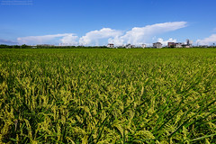 Summer in Yilan (HarenWang) Tags: trip travel blue summer sky green field photography view rice paddy taiwan bluesky views traveling    yilan  paddyfield       rx100