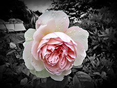 Crying in the Rain (Darling Starlings Flying the Nest) Tags: pink flower rose garden selectivecolour