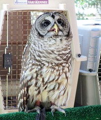 Strix varia --  Barred Owl 4259 (Tangled Bank) Tags: park county wild bird beach nature natural florida center palm owl area preserve barred strix varia 4259