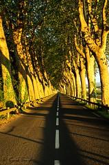 Sur la route au petit matin. (sergecos) Tags: road trees light landscape nikon shadows lumire perspective shades route arbres contraste paysage platanes d7000