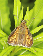 Butterfly - Large Skipper (Prank F) Tags: uk macro nature closeup butterfly insect wildlife large skipper rutland ketton wildlifetrust lrwt kettonquarry