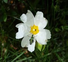 We can share this flower. (allysonbreeds) Tags: flower bug iridescent greenbeetle thickleggedflowerbeetleoedemeranobilis