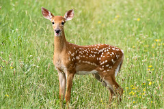 White-Tail Fawn (Conrad Kuiper) Tags: canon outdoor sigma deer fawn 50500 whitetail hullett 7dmkii