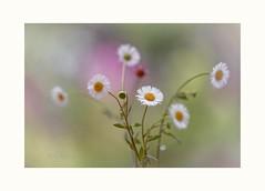 I like when you smile (Krasne oci) Tags: flowers nature dof bokeh gardening photographicart wildflower whiteflowers flowerart 2791 artphotography smallflowers evabartos