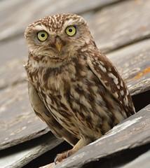 Little Owl (OWL62) Tags: devon farm bird owl nikon athenenoctua littleowl