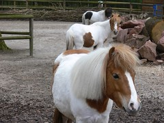 Shetlandponys (Equus ferus caballus) P1010066 (martinfritzlar) Tags: horse zoo pony pferd haustier tiergarten tier nrnberg equus shetlandpony equidae sugetier ferus caballus hauspferd unpaarhufer