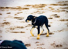 Cody (tracebru39) Tags: beach dogs puppy x greatdane doberman alsatian lunanbay