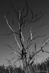 Dead Tree (wdicks) Tags: trees blackandwhite nature bnw deadtrees