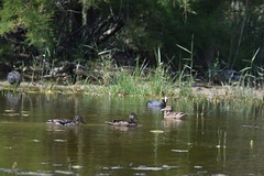 Delta del Llobregat (esta_ahi) Tags: barcelona españa joaquim fauna spain aves patos baixllobregat elpratdellobregat anatidae deltadelllobregat ànecs испания