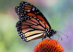 Coneflower monarch (TJ Gehling) Tags: insect lepidoptera butterfly nymphalidae monarch monarchbutterfly danaus danausplexippus plant flower asterales asteraceae echinacea coneflower communitygarden fairmontpark elcerrito