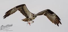 Osprey 7_25 1 (krisinct- Thanks for 12 Million views!) Tags: nikon d500 500 f4 vr g
