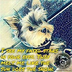 Love you baby! (itsayorkielife) Tags: instagram itsayorkielife yorkie yorkshireterrier