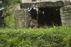 Tigre siberiana (querin.rene) Tags: renquerin qdesign parcolecornelle parcofaunistico lecornelle animali animals tigresiberiana russia