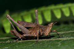 Episactidae, Espagnolopsis cf. hembra Saltamonte (Dennise Morales Pou) Tags: macrofotografamacrophotographynaturephotography nature insects bugs macro macrophotography fotografadenaturaleza insectos ladybug macrofotografa naturalezainsectoscaribeosinsectos dominicanrepublic