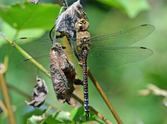 Migrant Hawker in Ryton Woods (robmcrorie) Tags: migrant hawker female ryton woods warwickshire coventry sssi wildlife nature reserve forest