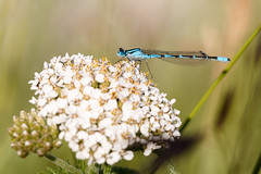 Damselfly (Bill McBride Photography) Tags: damselfly blue insect flying nature wildlife ak alaska bokeh july 2016 summer anchorage canon eos 70d efs18135stm