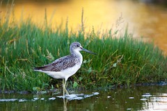 Chevalier aboyeur Tringa nebularia - Common Greenshank  _MEL3583 (cedric provost) Tags: france bretagne kerlouan oiseau bird cedricprovost