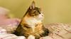 Mikko (3) (grahamrobb888) Tags: nikond800 sigma20mmf18 cat pet indoors mikko resting bed