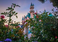 Flowers, Castle, and Sunset (Domtabon) Tags: california castle dl dlr disney disneyland disneylandresort sleepingbeauty sleepingbeautycastle mousewait
