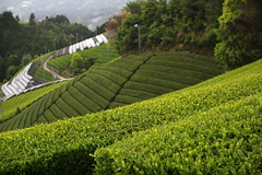 The Monzen fields in Wazuka (Obubu Tea Farms) Tags: japanesetea japan greentea tea green countryside wazuka obubu obubutea teafarm teafields