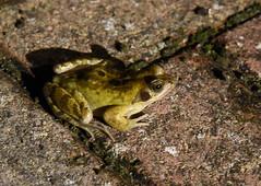 DSC_2965 (PeaTJay) Tags: nikond750 reading lowerearley berkshire macro micro closeups gardens outdoors nature reptiles amphibians frog frogs