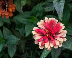 Two Tone Zinnia (zoomclic) Tags: canon closeup colorful zinnia flower foliage summer green garden red 5d tse90mmf28 twotone nature zoomclicphotography
