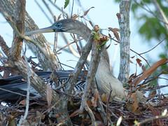 Anhinga  (Luis G. Restrepo) Tags: p2050648 patoaguja anhinga anhingaanhinga anhingidae sawgrasslakepark stpetersburg florida usa northamerica