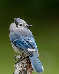 Blue Jay-48097.jpg (Mully410 * Images) Tags: jay bluejay portrait backyard bird birds birding birder birdwatching birchtree pose branch