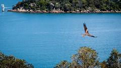 P1150126 (Pursuedbybear) Tags: sydney sydney2016 tarongazoo birds blackkite kite milvusmigrans