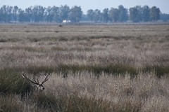 Encamado (ramosblancor) Tags: espaa naturaleza nature landscape nationalpark andaluca spain wildlife paisaje deer animales marsh marisma ciervo doana parquenacional cervuselaphus