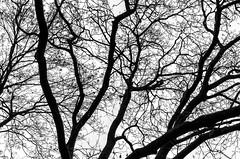 Winter Park II (Lepidoptorologic beauty*) Tags: tree 35mm blackwhite noiretblanc pentax silhouettes minimalism schwarzweiss minimalistic butteschaumont k5 lightroom buttes pentaxk crnobelo bianchonero lr5 pentaxk5 intothepark da35al lightroom5 smcpentaxda35mm24al k5ii pentaxk5ii pentaxk5iis k5iis