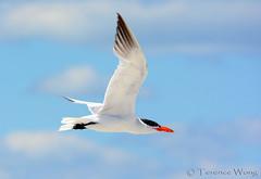 Caspian Tern (av8s) Tags: nature birds photography newjersey nikon wildlife nj sigma tern holgate caspiantern d7100 120400mm