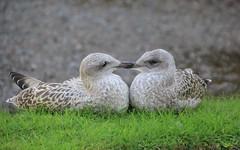 Love Birds. (Seckington Images) Tags: birds flickr bird