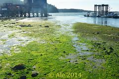 Harbor (Ale*) Tags: blue canada green pier britishcolumbia tide ale vancouverisland pacificocean tofino lowtide algae