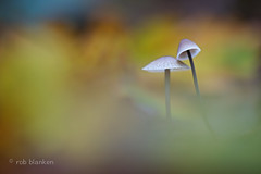 Just the two of us ... (Rob Blanken) Tags: light two sunlight love mushroom colors nikond800 twomushrooms sigma180mm128apomacrodghsm