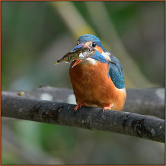 Kingfisher (image 1 of 4) (Full Moon Images) Tags: fish bird nature wildlife kingfisher stickleback
