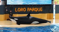 Young Orca (Schwanzus_Longus) Tags: parque sea male water pool female germany mammal jump dolphin tricks german killer tenerife rod whale orca delfin loro loroparque delphin malefemale delphinshow loroparquetenerife