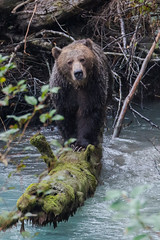 Hello Grizzly (fascinationwildlife) Tags: bear wild nature animal female river mom mammal bc close wildlife natur columbia british grizzly cama encounter braunbr orford kanada grizzlybr