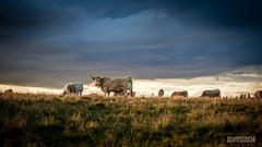 Disturbed (ElmerstarK) Tags: sunset france cow vache coucherdesoleil laguiole aveyron couchersoleil aubrac midipyrénées saintchélydaubrac condomdaubrac