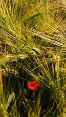 Alone Poppy (mgaloseau) Tags: flowers flower macro nature colors fleurs rouge photo flora nikon colorful europe solitude european alone foto details natur pflanzen champs picture blumen poppy 18200 plantes coquelicot flore seul fleures macrofoto macroopname matg d7000 mgaloseau