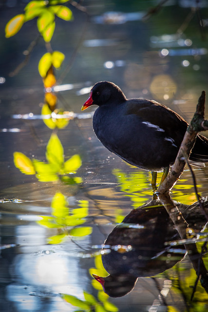 Reflections of a moorhen