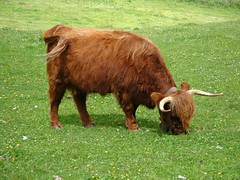 Bue Highlander in Val Venosta (Alto Adige/Sdtirol). (Clara03) Tags: bue highlander erba val alto prato adige bovino venosta bruca scozzese