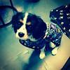 #Grayson repping the big #batman in his new coat #puppy #pup #caviller #king #Charles #dog #instapup #instadog #cute #familyofbats #batgeek #batdog #geek #gaygeek (ashlibean) Tags: new dog cute puppy big king geek coat charles grayson batman his pup batdog repping caviller gaygeek instadog familyofbats instapup batgeek