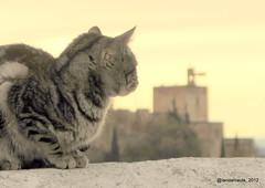 El gato y la Alhambra (Landahlauts) Tags: sacromonte granada alhambra gato cat andalucia andalusia andalusien andalusie andalouzia andaluzio andaluz andalusiya andaluzia andaluzja andalucía andalousie alandalus reinodegranada reinonazari patrimoniodelahumanidad worldheritagesite worldheritage unesco unescoworldheritagesite vereadeenmedio cath chat kissa pussi katze mascota animaldomestico katu gat kitten kittycat kitty