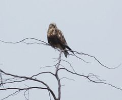 IMG_3056-1 Rough-legged Hawk (John Pohl2011) Tags: bird canon john hawk raptor 100400mm birdofprey pohl perching t4i 100400mmlens canont4i