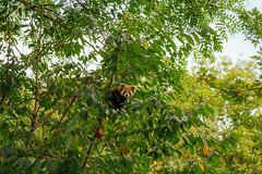 firefox. (angsthase.) Tags: autumn tree green fall leaves animal germany deutschland zoo bokeh foliage redpanda nrw grün blätter ruhrgebiet baum dortmund 2014 ruhrpott mft micro43 epl5 olympuspenepl5 sigma60mmf28dn