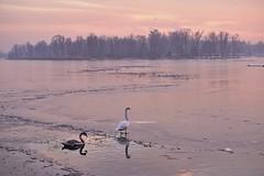 071210_435 (the_apex_archive) Tags: vienna winter cold ice austria frozen frost swans apex kalt eis frostig klte schwne altedonau gefroren eisig vereist zugefroren icebound eisdecke solidice icecover 071210