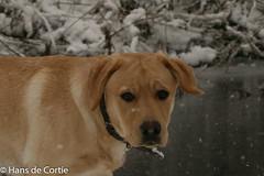 Fionn in de sneeuw (Hans de Cortie) Tags: winter labrador sneeuw nederland labradorretriever noordbrabant fionn wintelre