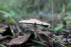 Agarical (Tom Mushroom) Tags: nature mushroom mushrooms science fungi fungus cloudforest ferns botany veracruz agaricus mycology gills hongos setas naturephotography wildmushroom agaricales agaricaceae basidomycota